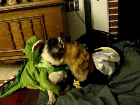 pug dinosaur costume dachshund and zooey the pug fighting in bee and dinosaur costumes