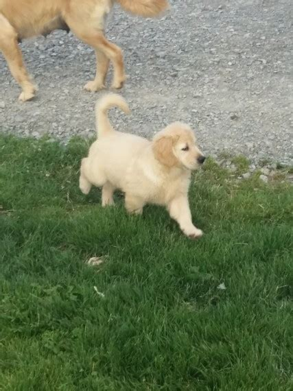 golden retriever puppies for sale 200 beautiful havanese puppies for sale houston for sale houston pets dogs