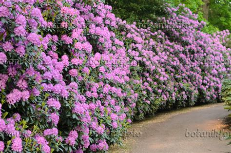 rhododendron hecke rhododendron hecke image catawba rhododendron rhododendron