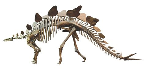 stegosaurus anatomy how it works magazine