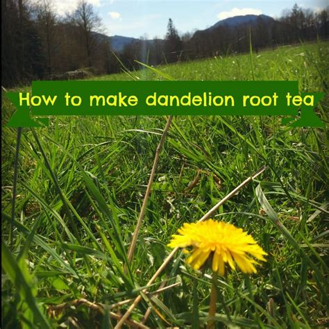 Resons To Detox Your With Dandelion by Best 25 Dandelion Root Tea Ideas On Dandelion