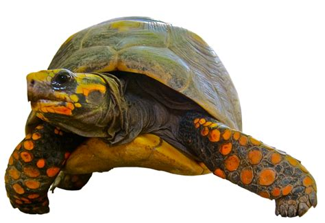 Amazon Bathtub Turtle Transparent Background Image