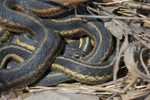 Garter Snake Den Eastern Garter Snake Den Flickr Photo