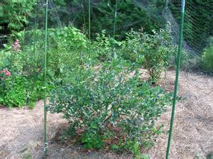 how to grow blueberries growing blueberries blueberry bushes