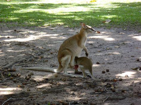 doodlebug wallaby australia