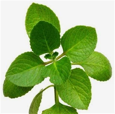Daun Oregano Kering gambar mengenal khasiat manfaat daun benalu kesehatan gambar oregano di rebanas rebanas