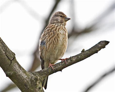 cambridgeshire bird club gallery: linnet