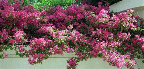 piante profumate da giardino piante ricanti profumate ricanti ricanti per