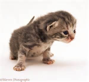 silver tortoiseshell kitten 2 weeks old photo wp12298