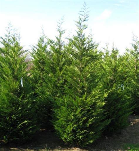 cupressocyparis leylandii deer resistant leyland cypress is a fast growing evergreen conifer