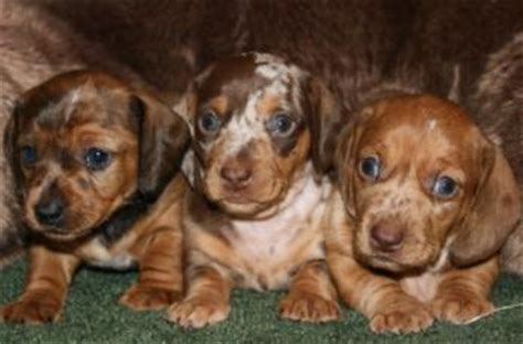 dachshund puppies for sale in kansas city dachshund for sale in kansas city dogs our friends photo
