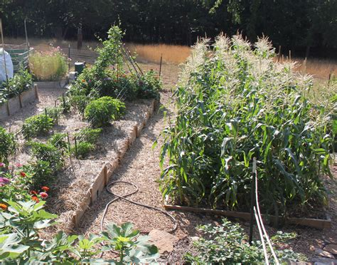 Growing Corn in Small Spaces   Wisconsin Gardening Web