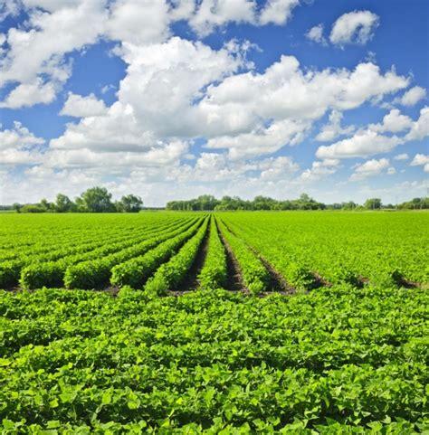 harvesting plantations in tarkeeth state not all dakota farmers embracing new type of crop