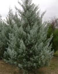 fresh cut christmas tree kingman az 4d tree farm