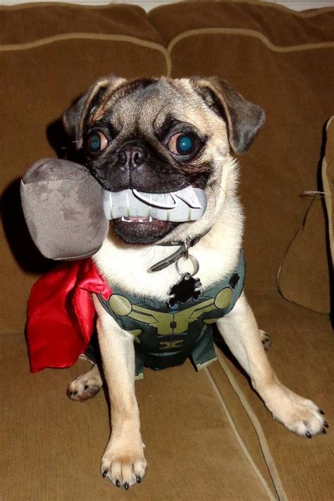 god pugs join the pugs gt thor the pug
