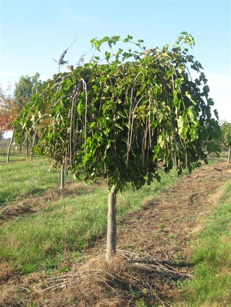 weeping trees mulberry tree in ventura county ca chameleon forums