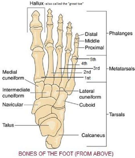 diagram of the foot bones skeletal system diagrams