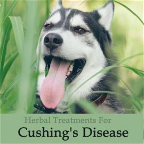 s disease in dogs treatment herbal treatments for canine liver and metabolic conditions archives caraf avnayt s