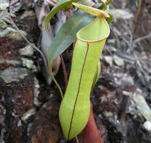 pitcher plant uses falling rain to trap insects phenomena