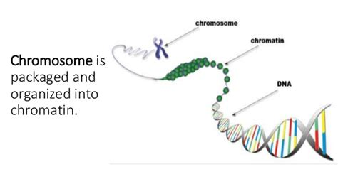 chromatin diagram chromatin and chromosomes
