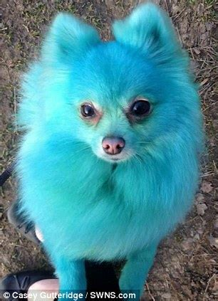 blue pomeranian puppies blue pomeranian www pixshark images galleries with a bite