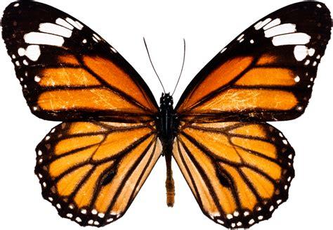 imagenes reales red wings en g 252 zel kelebek resimleri