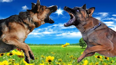 belgian malinois vs german shepherd german shepherd vs belgian malinois highlights