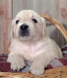 white golden retriever puppies for sale in wisconsin white golden retriever puppies for sale wisconsin photo