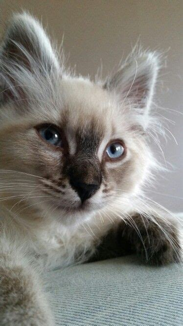 x ragdoll cat 702 best images about cats siamese himalayan others
