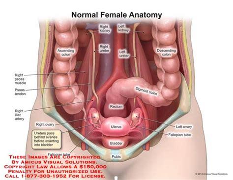 uterus bladder diagram human anatomy bladder uterus anatomy pregnancy bladder