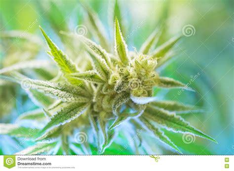 marijuana flowering buds cannabis hemp plant