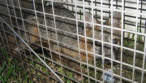 82 getting rid of foxes from your garden how to