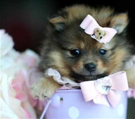 teacup pomeranian puppies for sale in illinois puppy for sale