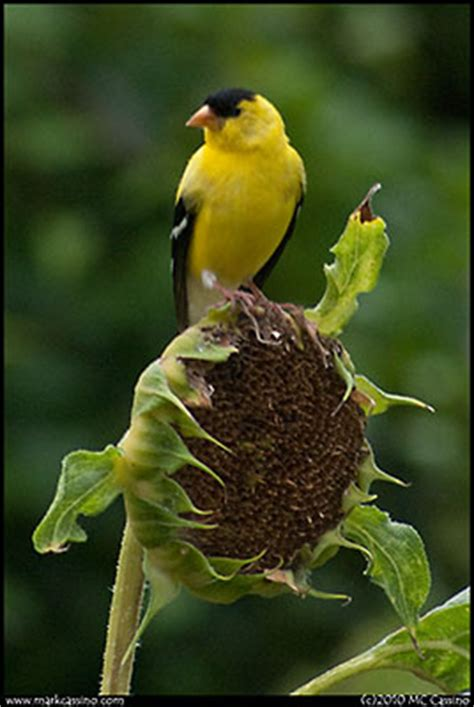 of finches and thistle