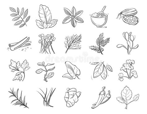 especiero vector vintage hand drawn herbs and spices sketch drawing plants