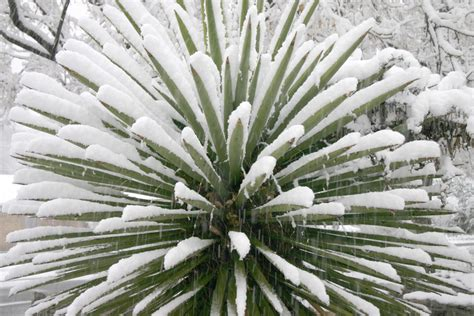 Yucca Palme Krankheiten 4812 by Yucca Palme 187 Winterharte Sorten Und Winterschutz Der