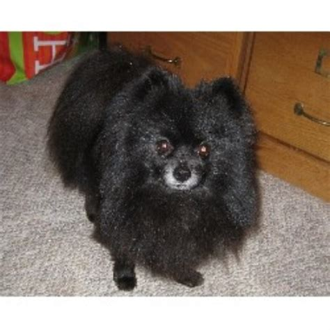 pomeranian breeder michigan beals pomeranians pomeranian breeder in davison michigan