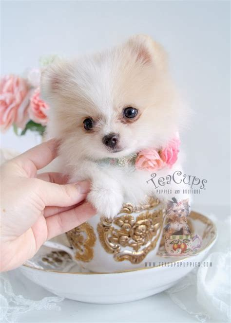 white pomeranian puppy for sale teacup puppies for sale teacups puppies boutique