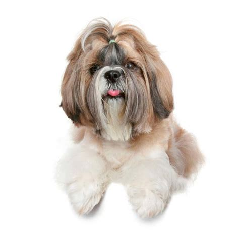 shih tzu temperament lively shih tzu temperament