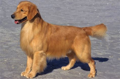 healthy golden retriever golden retriever