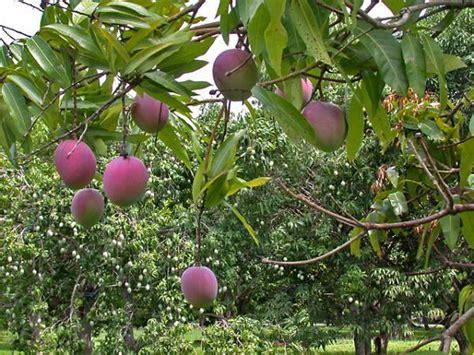 florida fruit tree nursery tropical fruit trees that grow best in sw florida