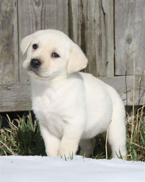 Labradors Shedding by Labrador Retreivers Images Labrador Puppy By Shed Hd