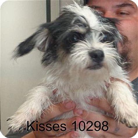 cairn terrier shih tzu mix puppies cairn terrier shih tzu mix for adoption in brattleboro vermont kisses