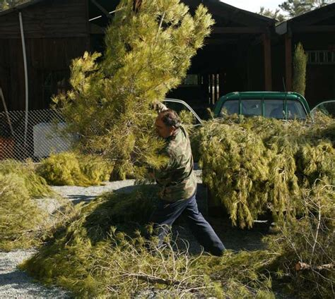 christmas trees go on sale next week cyprus mail
