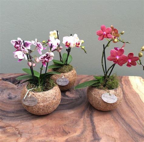 vasi per orchidee phalaenopsis come realizzare mini orchidee cura orchidee consigli