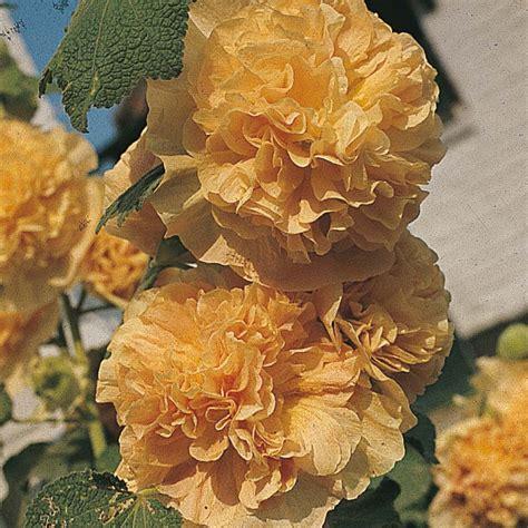 exotische pflanzen kaufen 906 bio samen blumensamen samen samenrarit 228 ten gem 252 sesamen