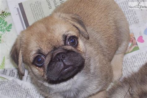 pugs for sale in kansas pug for sale for 300 near kansas city missouri ea7b8271 0331