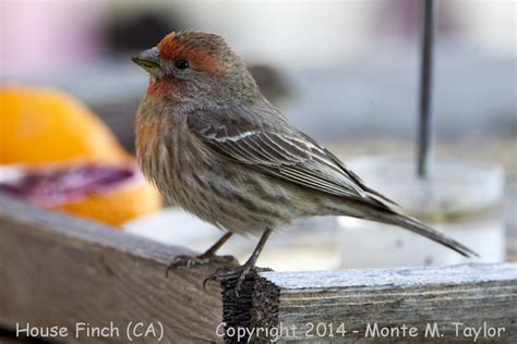 house finch california 28 images house finches