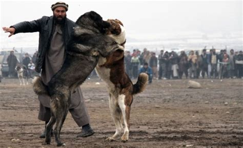 pictures afghan dogs battle   weekly dog