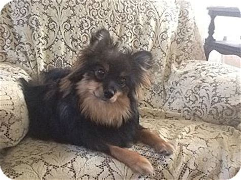 australian shepherd pomeranian mix for adoption teddie adopted puppy hilliard oh australian shepherd pomeranian mix